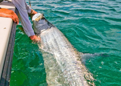 tarpon_by_the_boat_captain_jason_stock